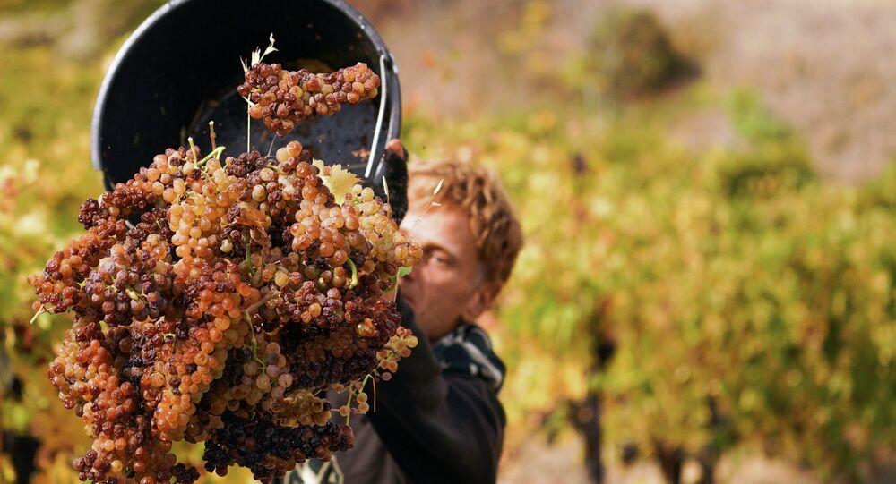 Zbiór winogron na Krymie