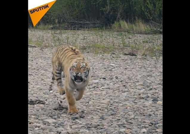 Kłusownicy zabijają tygrysy, bo potrzebują ich kości i skóry