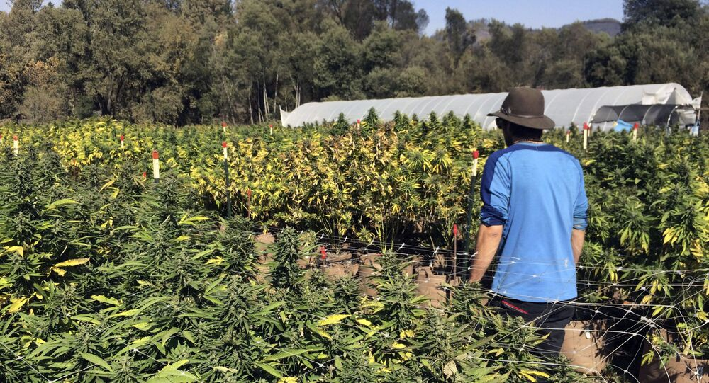 Plantacja marihuany w Kalifornii