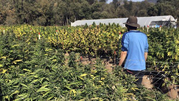 Plantacja marihuany w Kalifornii - Sputnik Polska