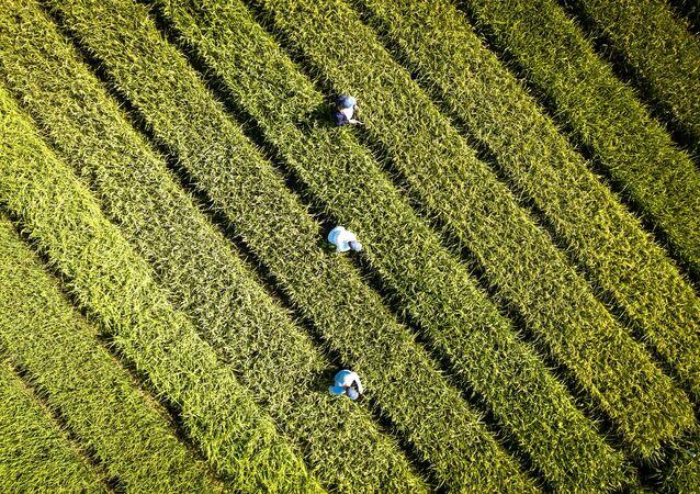 Uprawa ryżu w Kraju Krasnodarskim