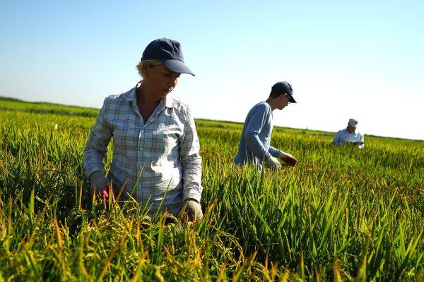 Uprawa ryżu w Kraju Krasnodarskim - Sputnik Polska