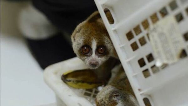 Lemur to nie zabawka! - Sputnik Polska