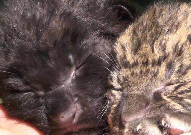 W parku safari Tajgan urodziły się dwa leopardy amurskie