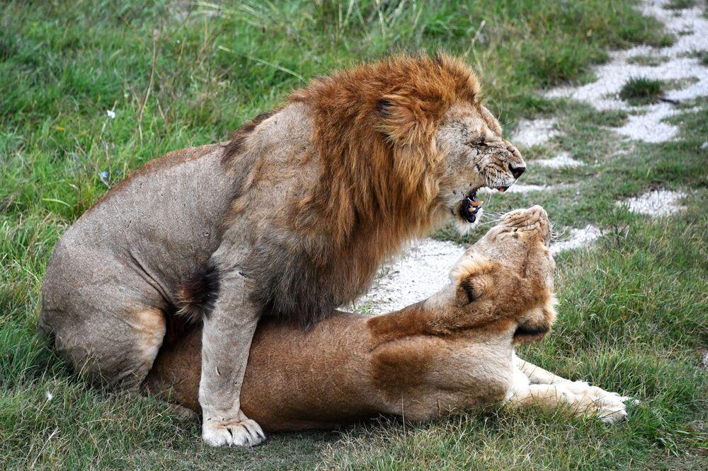 Lew i lwica