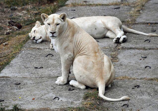 Białe lwy w krymskim parku safari Tajgan
