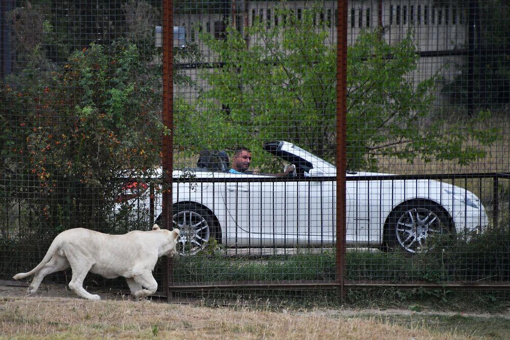 Biały lew