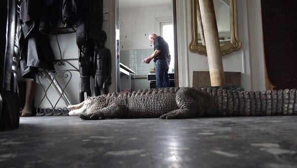 Te ogromne aligatory są zwierzętami domowymi - Sputnik Polska