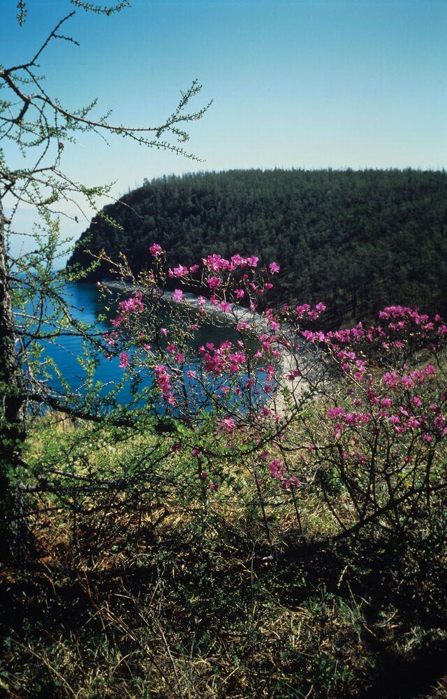 Bagno kwitnie nad Bajkałem