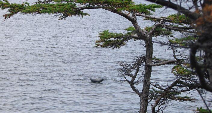 Foka blisko wyspy Czakmut