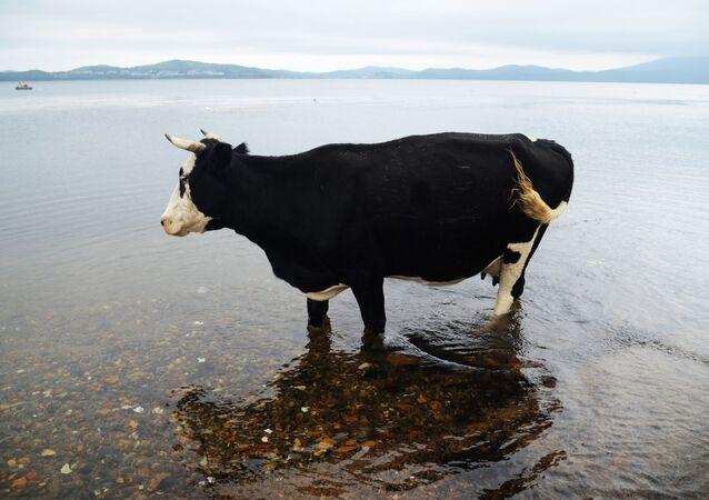 Krowa na wyspie Putiatina