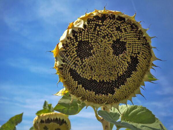 Uśmiechający się słonecznik - Sputnik Polska