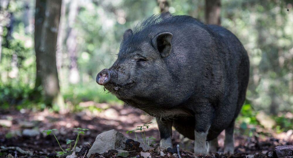 Wietnamska świnia zwisłobrzucha