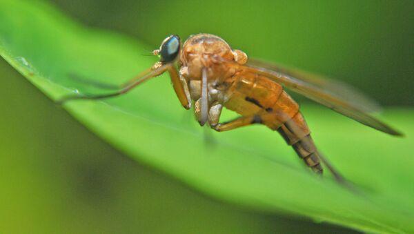 Komary z rodzaju Culex - Sputnik Polska