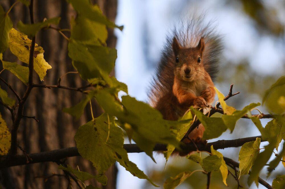 Wiewiórka w parku Carycyno w Moskwie
