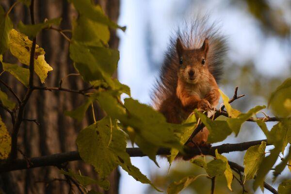 Wiewiórka w parku Carycyno w Moskwie - Sputnik Polska