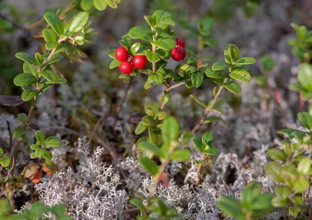 Jagody i liście borówki, rosnące w Karelii