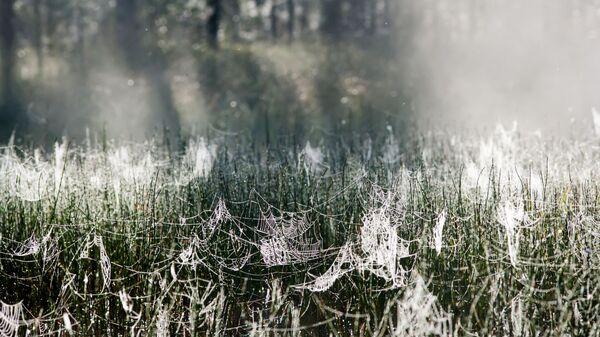Mgła rano, pajączyna na trawie w Republice Karelii - Sputnik Polska