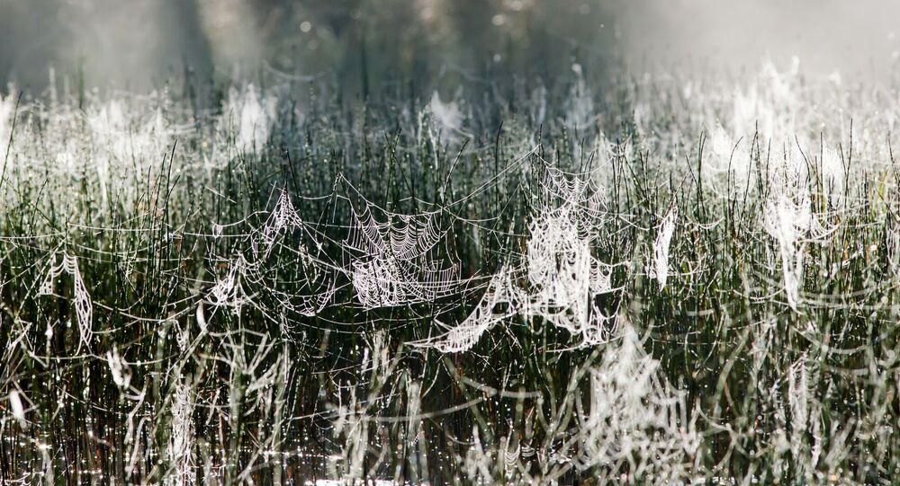 Mgła rano, pajączyna na trawie w Republice Karelii