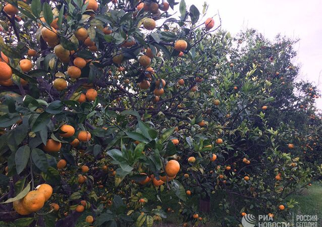 Ogród mandarynkowy w Latakii
