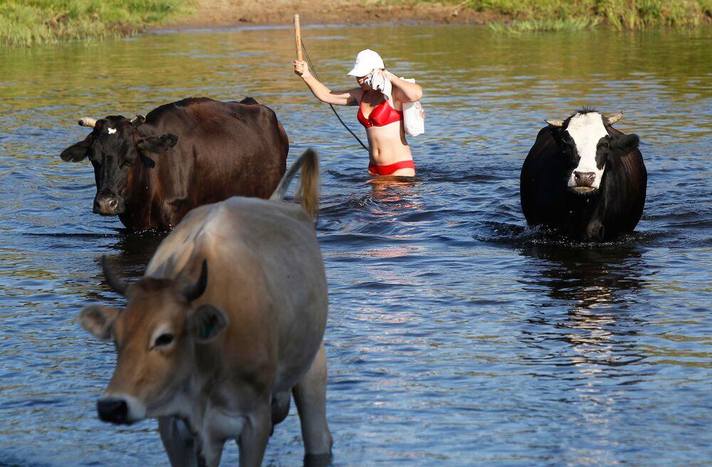 Wypas krów pod Iwanowem