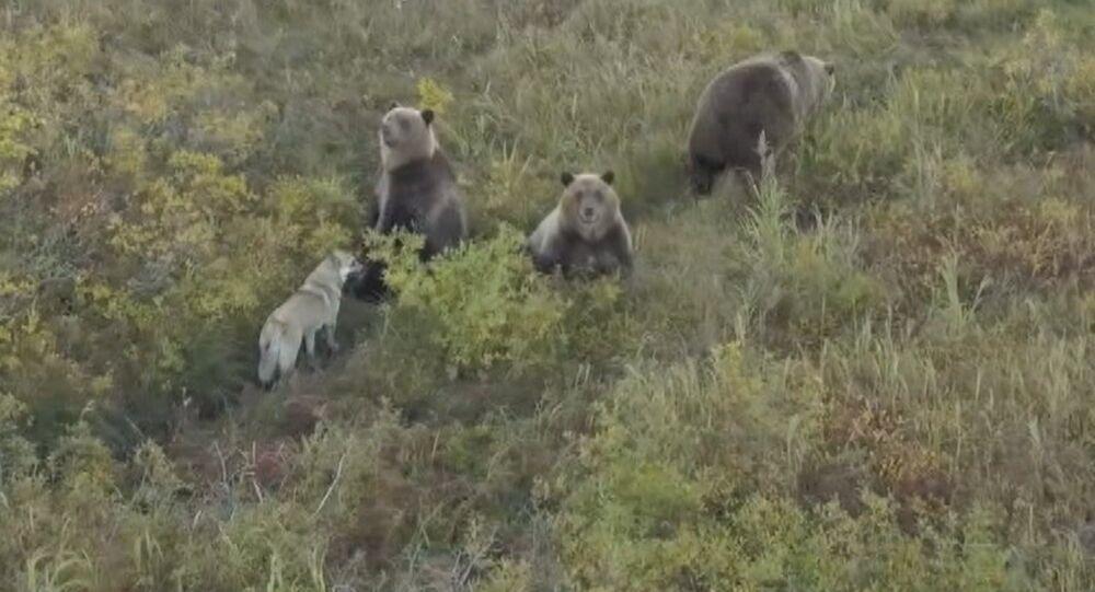 Łajka i niedźwiedzie