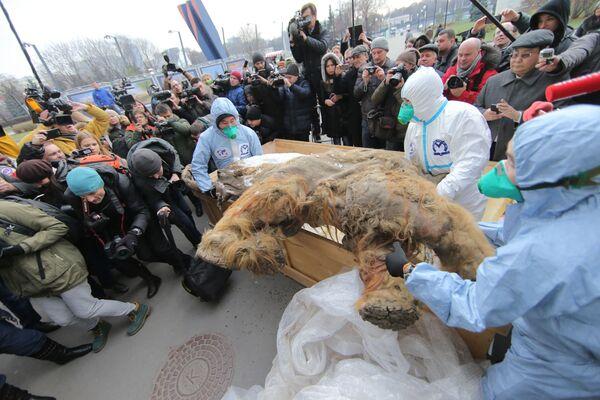 Jakucki mamut Juki - Sputnik Polska