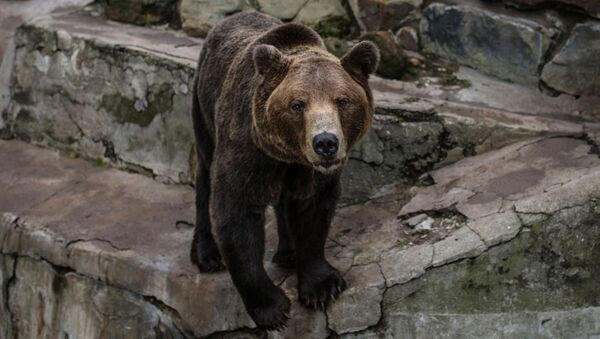 Niedźwiedź brunatny w kaliningradzkim zoo - Sputnik Polska