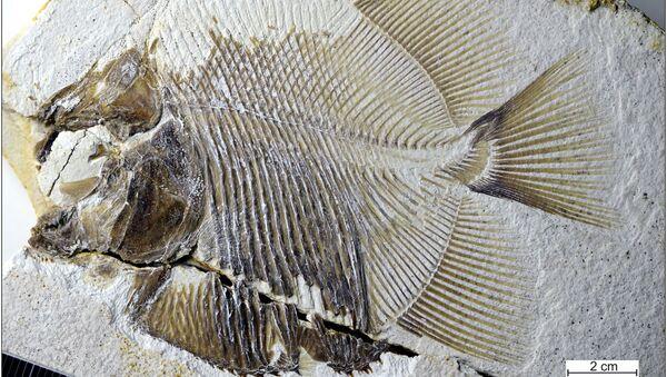 Ryba Piranhamesodon pinnatomus - Sputnik Polska