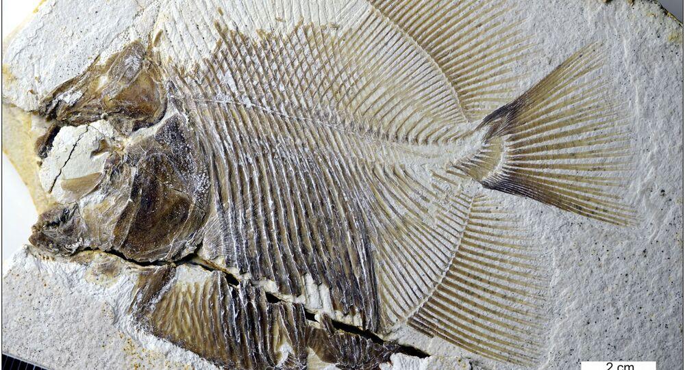 Ryba Piranhamesodon pinnatomus