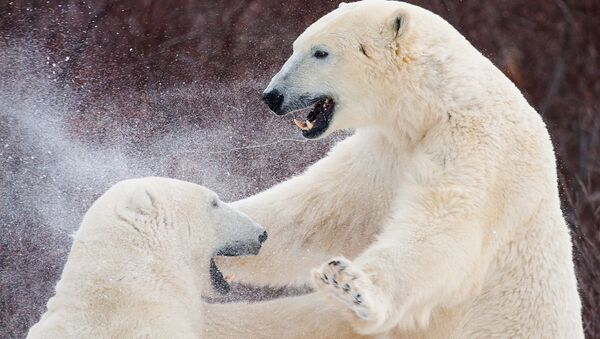 Niedźwiedzie - Sputnik Polska