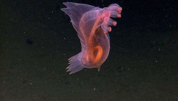 Ogórek morski, Enypniastes eximia - Sputnik Polska