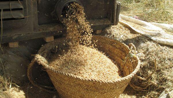 Zbiory ryżu w prowincji Mazandaran w Iranie - Sputnik Polska