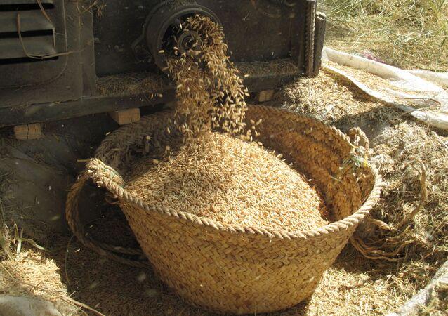 Zbiory ryżu w prowincji Mazandaran w Iranie