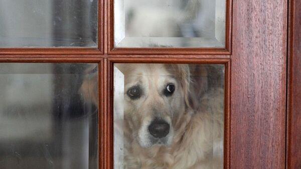 Pies za zamkniętymi drzwiami - Sputnik Polska