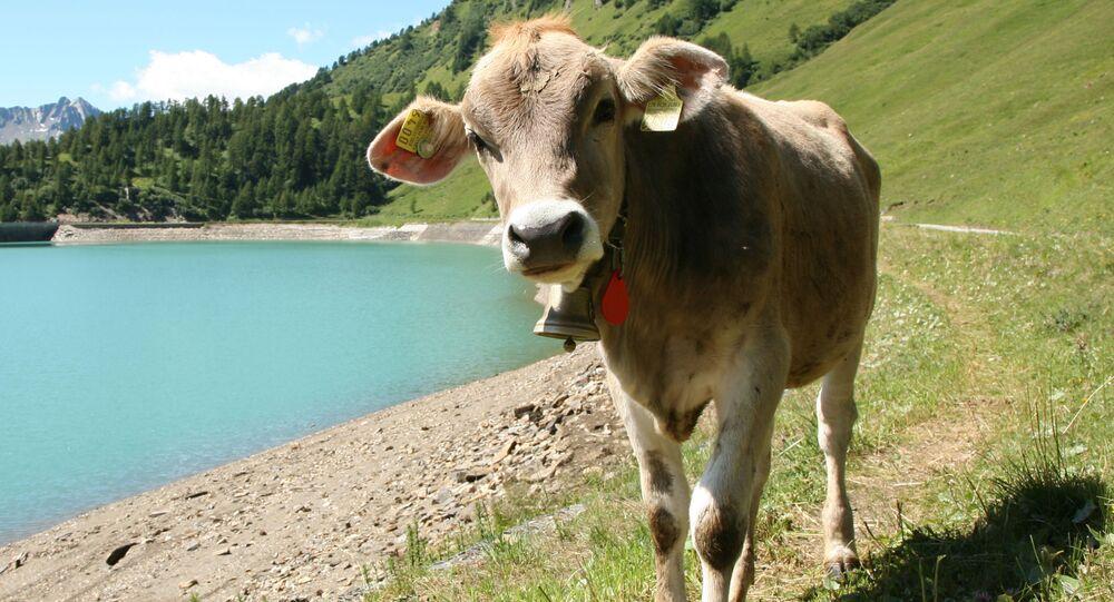 Krowa w kantonie Berno