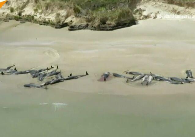 Ponad 140 delfinów popełniło samobójstwo w Nowej Zelandii