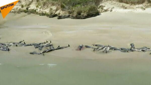 Ponad 140 delfinów popełniło samobójstwo w Nowej Zelandii - Sputnik Polska