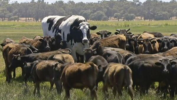 Największy byk w Australii Knickers - Sputnik Polska