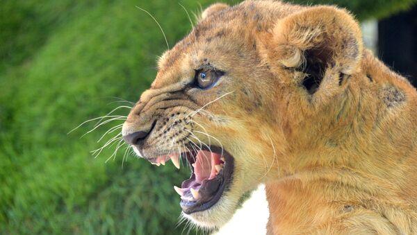 Lwica w krymskim safari parku - Sputnik Polska