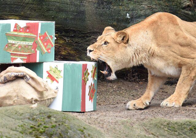 Prezenty dla lwicy z zoo w Hamburgu