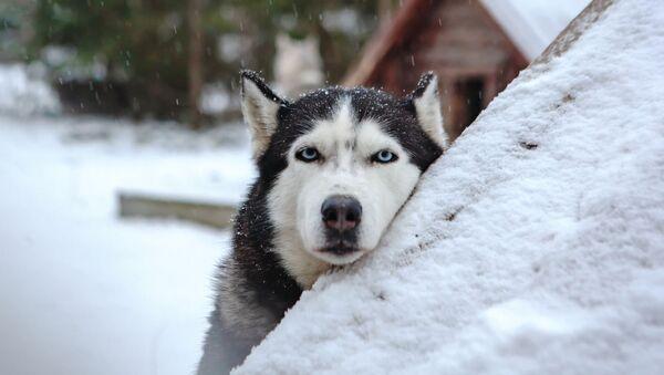 Pies zaprzęgowy na terytorium rezydencji karelskiego Dziadka Mroza - Sputnik Polska