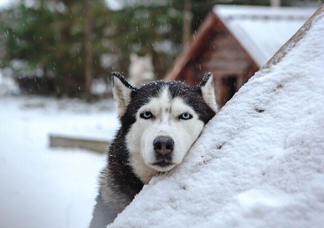 Pies zaprzęgowy na terytorium rezydencji karelskiego Dziadka Mroza