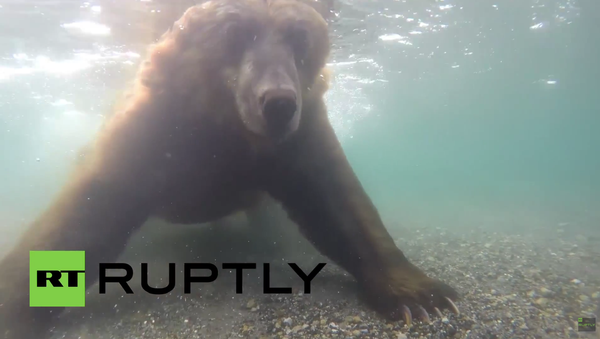 Unikalne wideo: Niedźwiedź łowi ryby na Kamczatce - Sputnik Polska