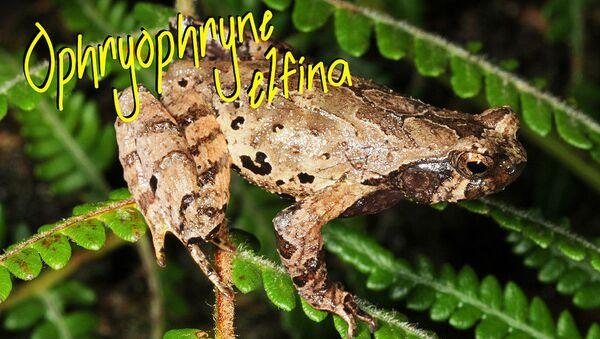 Nowy gatunek żaby Ophryophryne elfina, odnaleziony przez naukowców w Wietnamie - Sputnik Polska