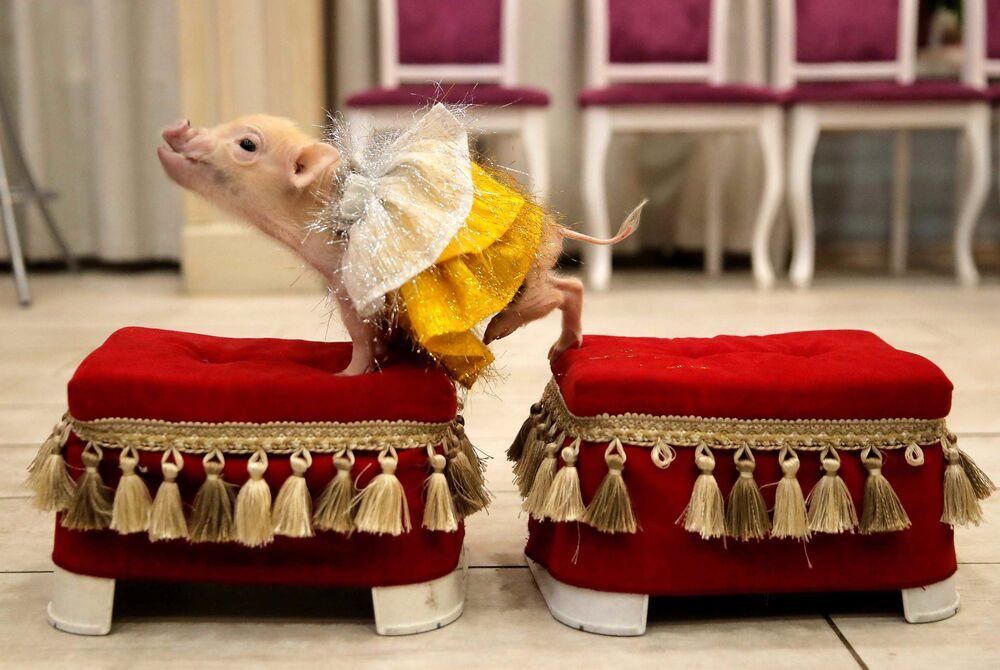 Świnka miniaturka na prezentacji w Bałaszysze