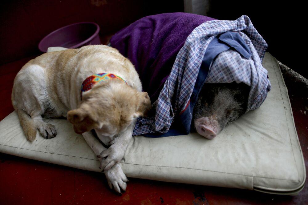 Pies i świnia - zdjęcie zrobione w dzień trzęsienia ziemi o sile 7.1 w Meksyku