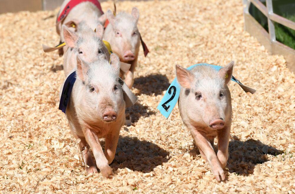 Wyścigi świnek, USA