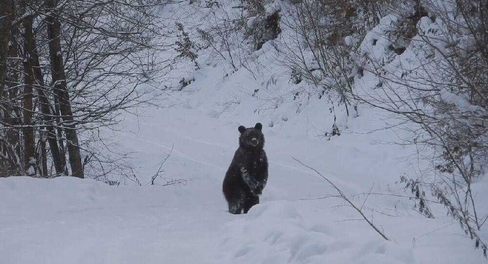 Niedźwiedź Grzesiu