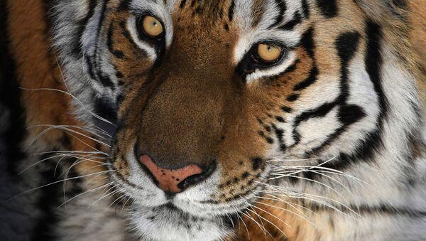 Tygrys syberyjski w parku safari w Kraju Nadmorskim - Sputnik Polska